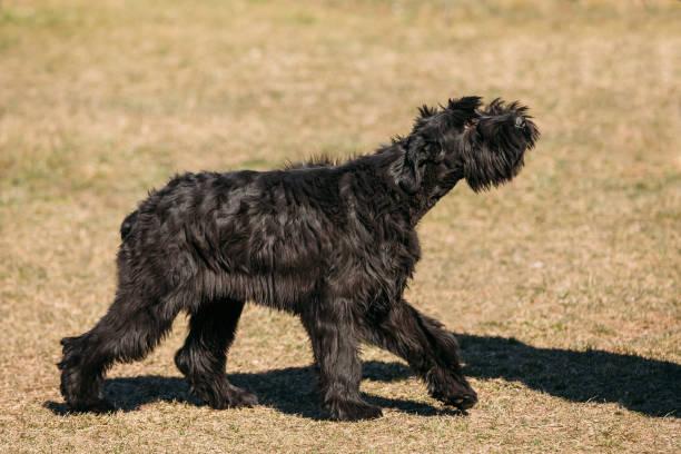 schwarze riesenschnauzer oder riesenschnauzer hund im freien laufen. schritt - riesenschnauzer stock-fotos und bilder