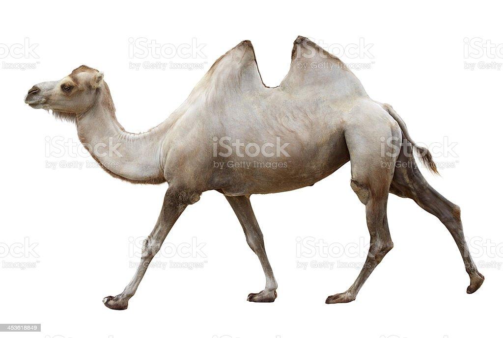 Walking camel on a white stock photo