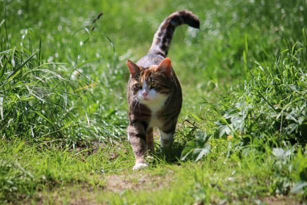 Walking cat in the sunshine picture id961685144?b=1&k=6&m=961685144&s=612x612&w=0&h=  rm 0zqn3yotxy6qlnasvden3 b5olyt3v0kqxl  i=