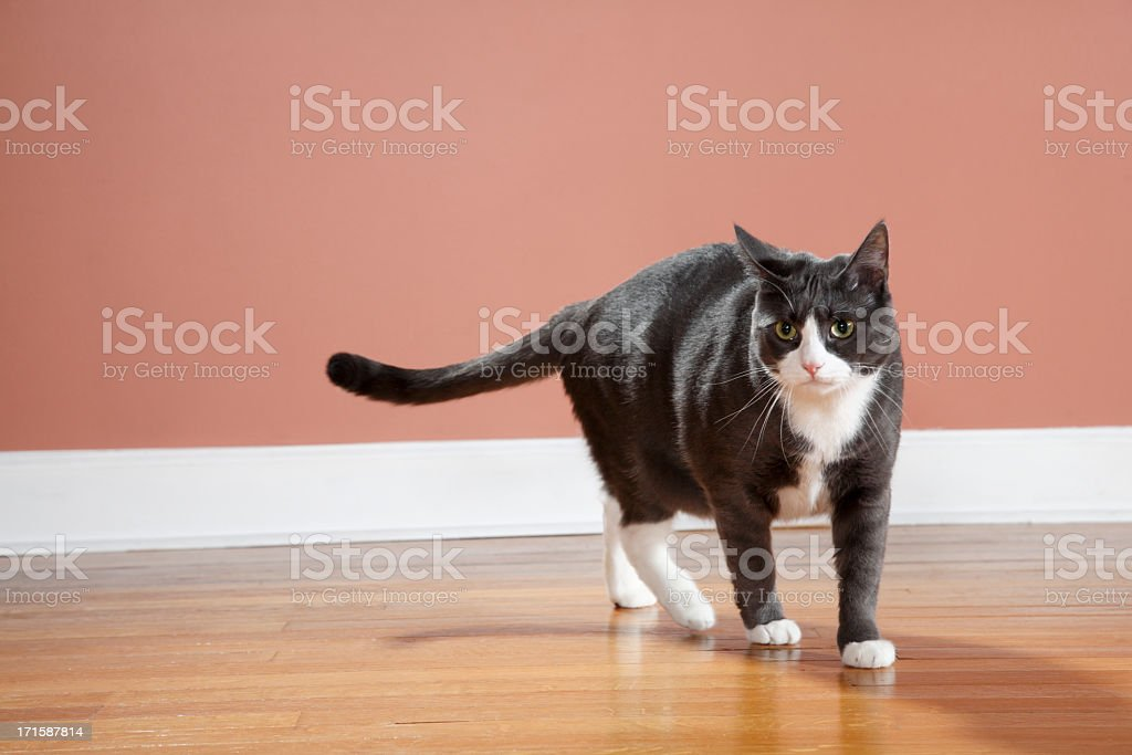 Walking Cat stock photo