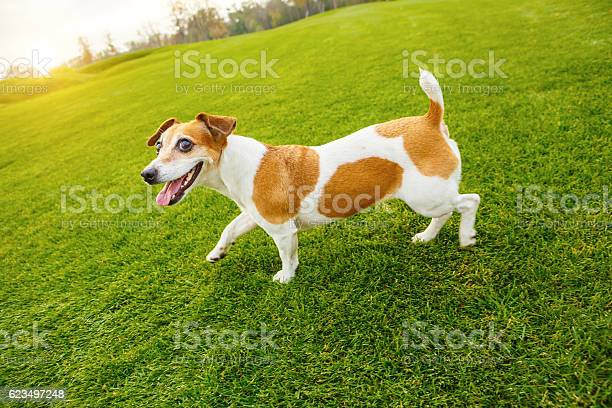 Walking dog jack russell terrier picture id623497248?b=1&k=6&m=623497248&s=612x612&h=zpa9duwntud0io3zb0hqd9fc1ro8nd0him2vl5cavfu=