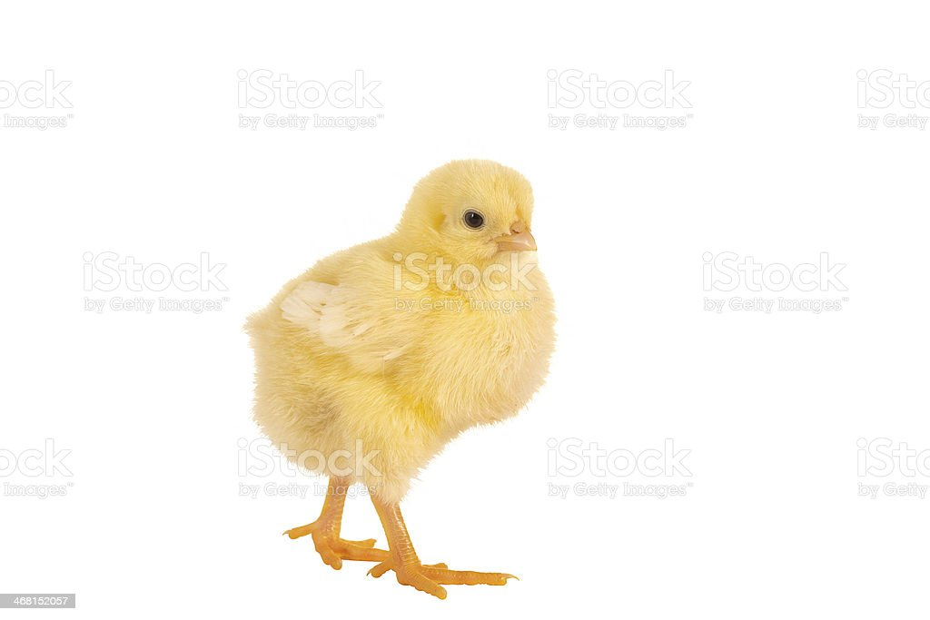 Walking easter chick stock photo