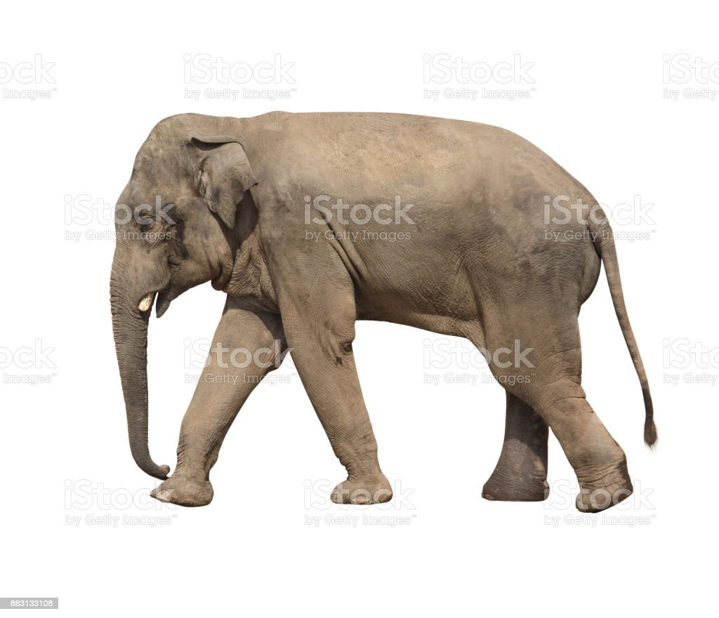 Walking elephant (Elephas maximus) stock photo