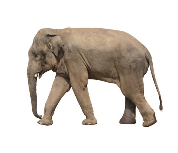 Walking elephant (Elephas maximus) stock photo