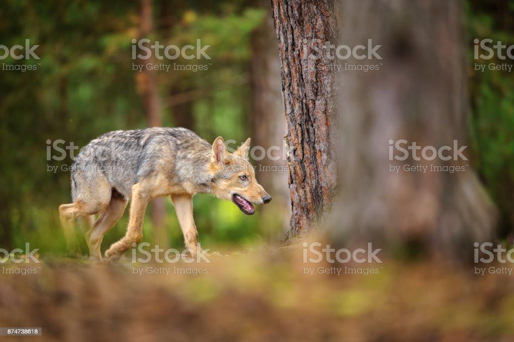 Walking evil wolf in europian forest stock photo