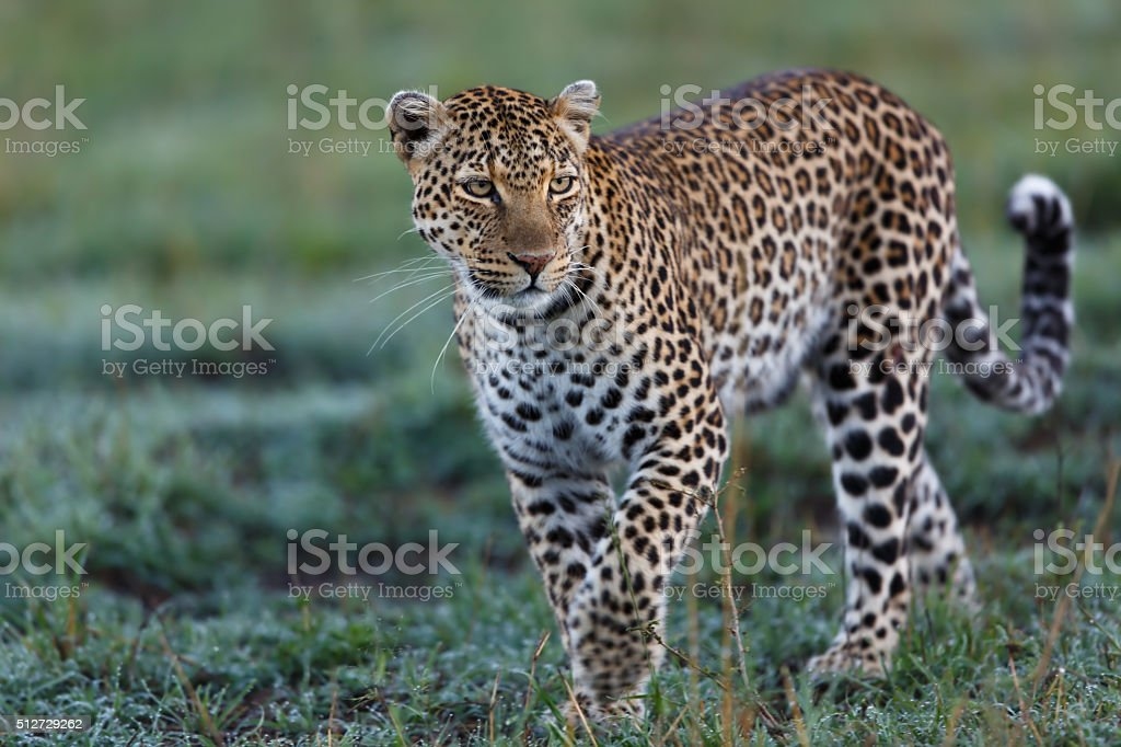 Walking female Leopard Lorian in Masai Mara stock photo