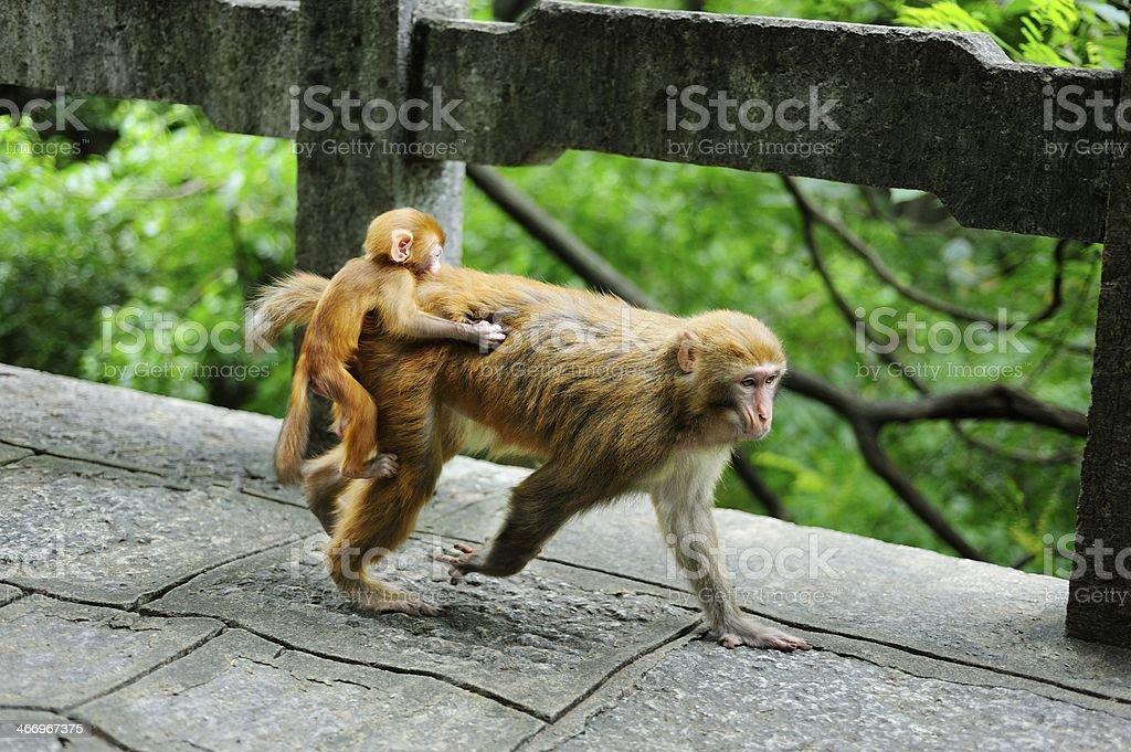 walking female monkey royalty-free stock photo