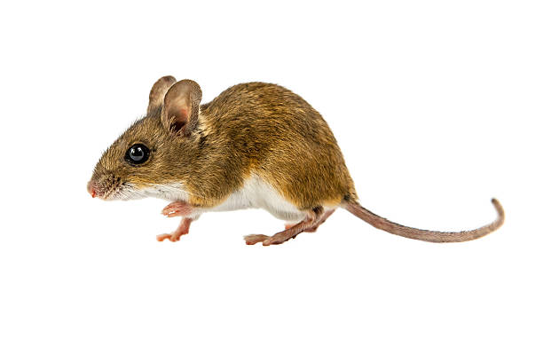 Walking Field Mouse on white background stock photo