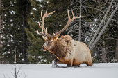 Trophy sized Bull elk searching for food under very deep snow.