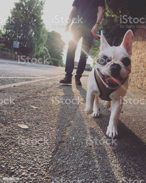 Walking french bulldog in the evening england picture id999490776?b=1&k=6&m=999490776&s=612x612&h=vi3shkyojhprk6cabngtboo2eyovy5ovpmt3xry2idy=