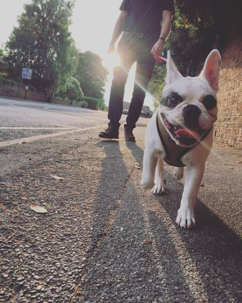 Walking french bulldog in the evening england picture id999490776?b=1&k=6&m=999490776&s=612x612&w=0&h=jhbi5isz 9rx5fl97 b7ej17a7tcxix0jxtskbkkp i=
