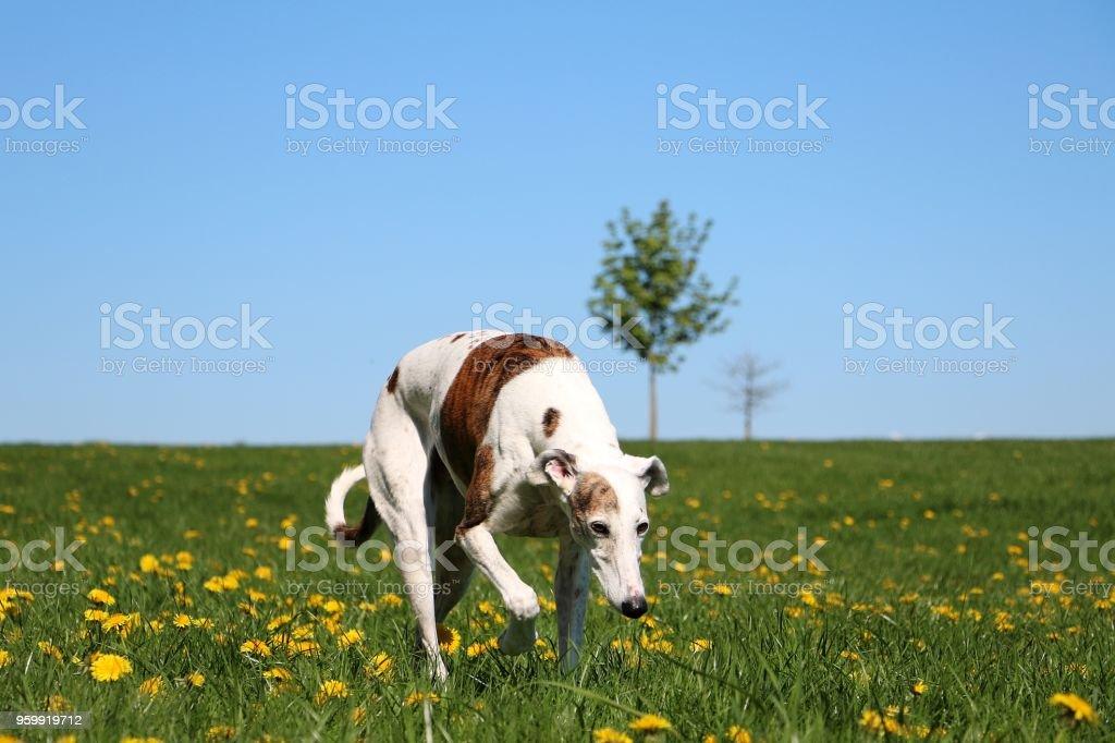 walking galgo stock photo