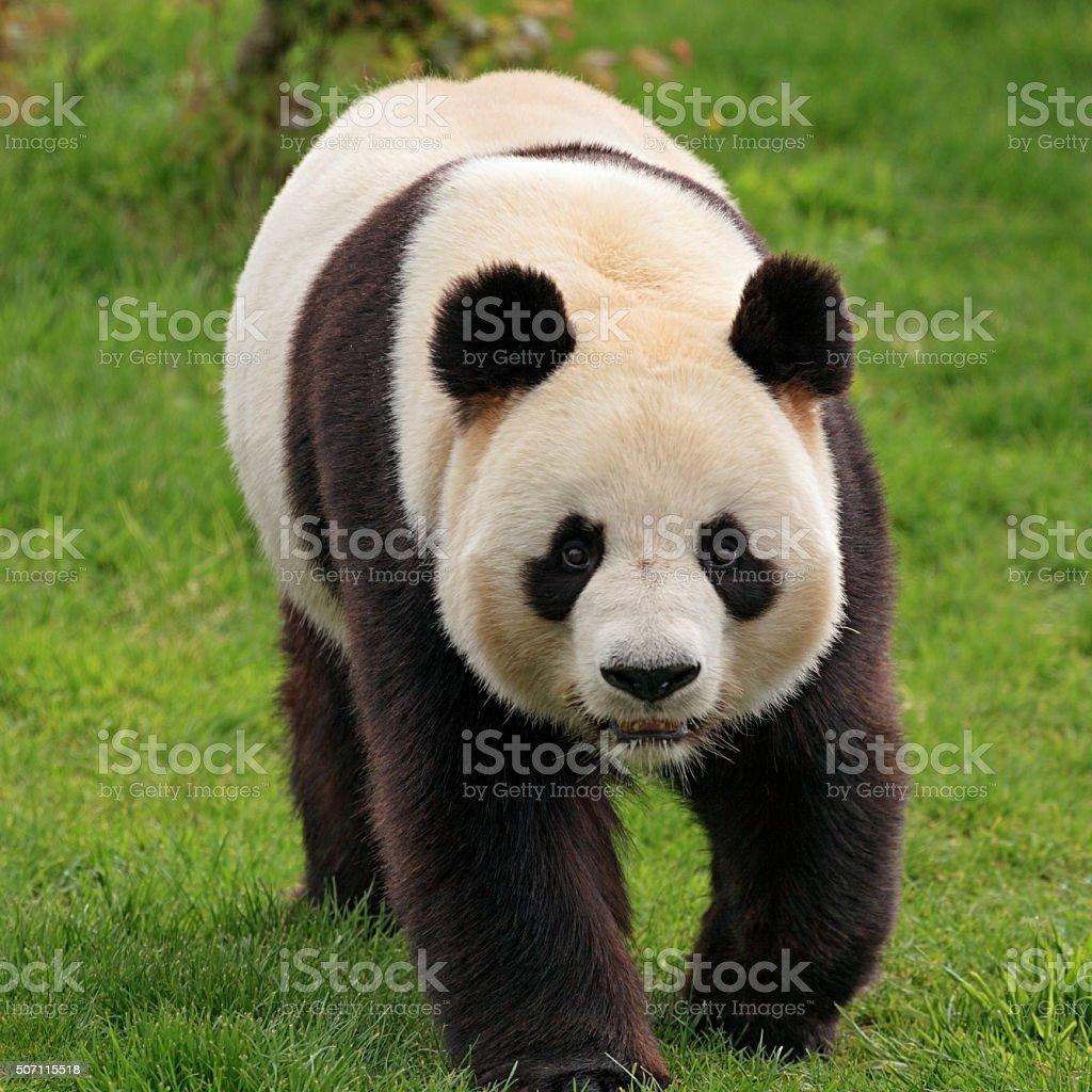 Walking giant panda stock photo