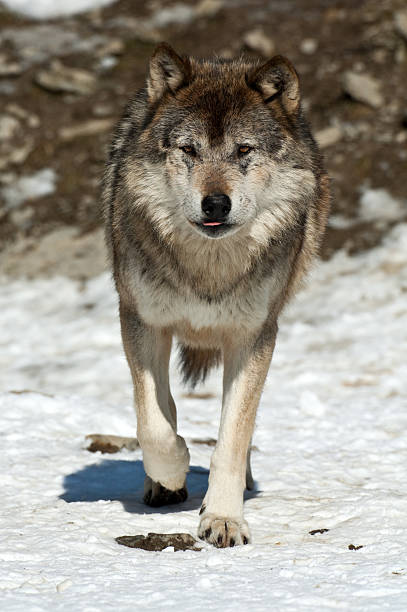 Royalty Free Wolf Tongue Pictures, Images and Stock Photos ...