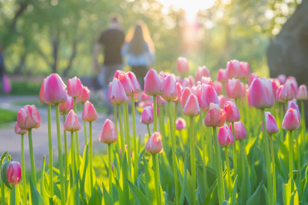walking happy young couple in park with blooming pink tulips on foreground. blurred abstract image for spring, summer creative background, pantone fashion colors - spring fashion stock pictures, royalty-free photos & images