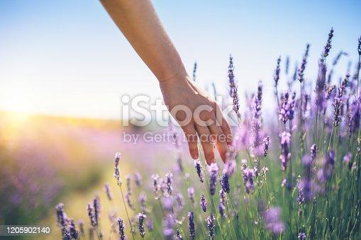 istock Walking In The Lavender Field 1205902140