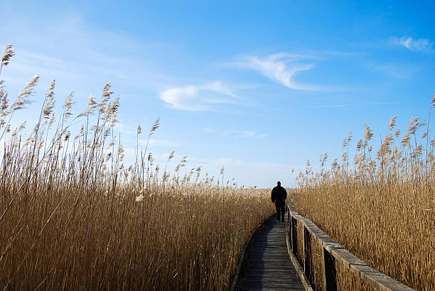 Walking in the reeds stock photo