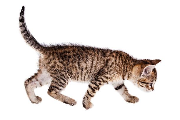 Walking kitten picture id513180043?b=1&k=6&m=513180043&s=612x612&w=0&h= cquori7smeoqplomuex1vlx0tsy80lw5cmknu4gdfo=