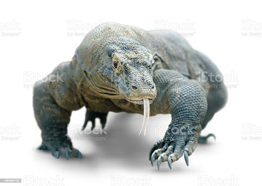 Walking komodo dragon isolated on white, with clipping path stock photo