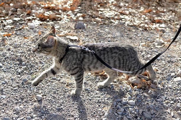 sind angeleinte getigerte katze cat - katzengeschirr stock-fotos und bilder
