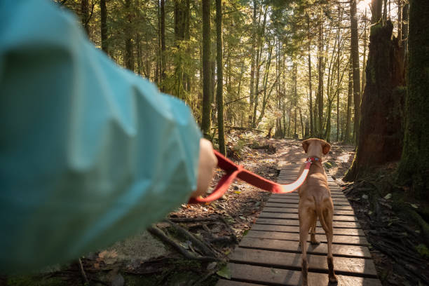 POV, Walking Leashed Vizsla Dog on Boardwalk Forest Trail First person perspective of dog walker with Vizsla dog.  North Vancouver, British Columbia, Canada personal perspective stock pictures, royalty-free photos & images