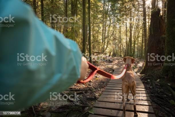 Photo of POV, Walking Leashed Vizsla Dog on Boardwalk Forest Trail