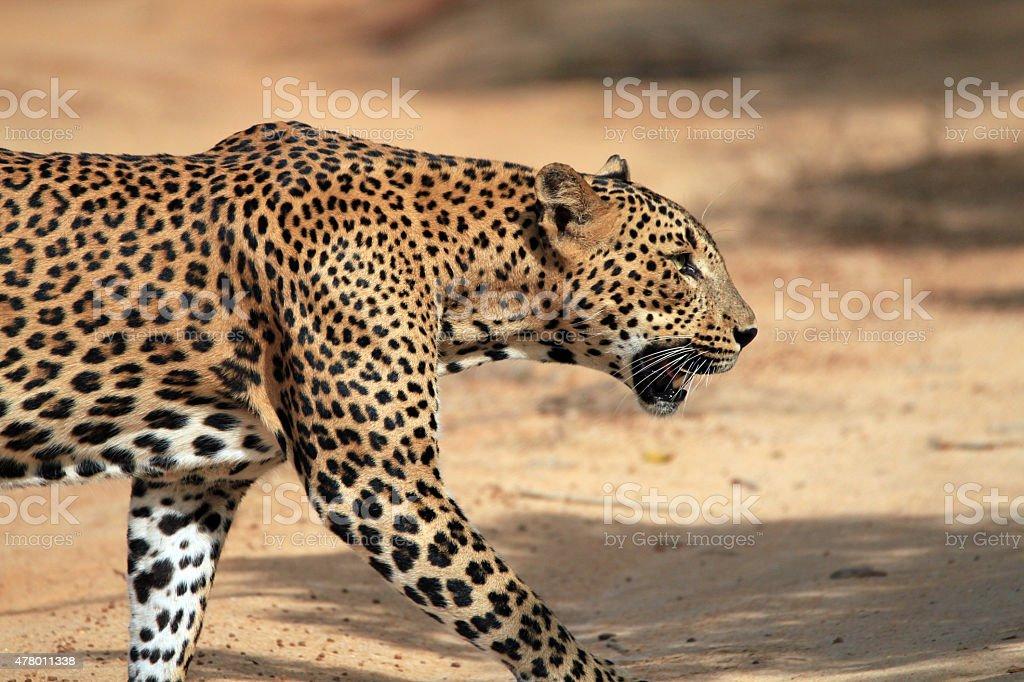 Walking Leopard in Profile stock photo