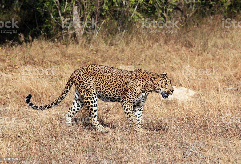 Walking Leopard bildbanksfoto