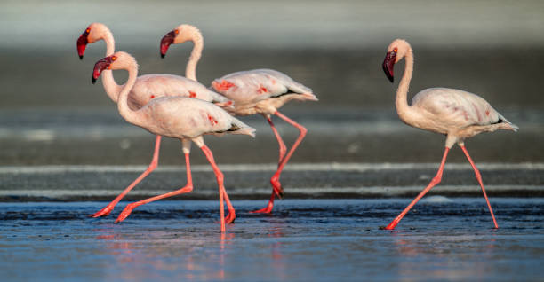 Walking Lesser flamingos stock photo