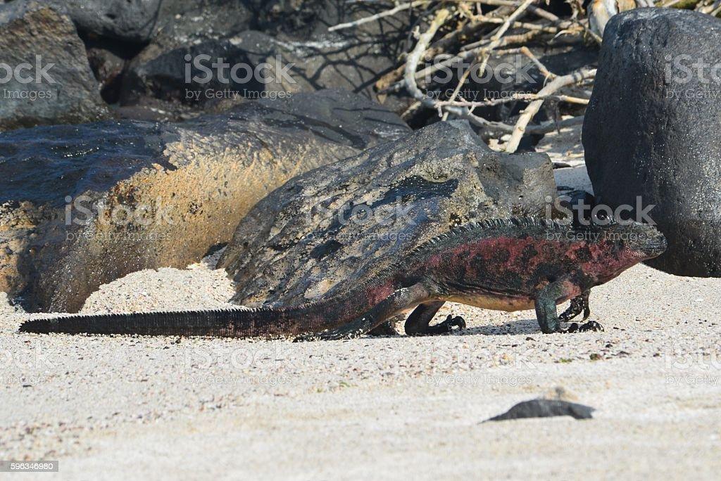 Walking Lizard royalty-free stock photo