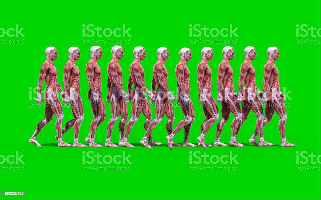 Fuß Männliche Anatomie Abbildung Mit Muskeln Karte Stock-Fotografie ...