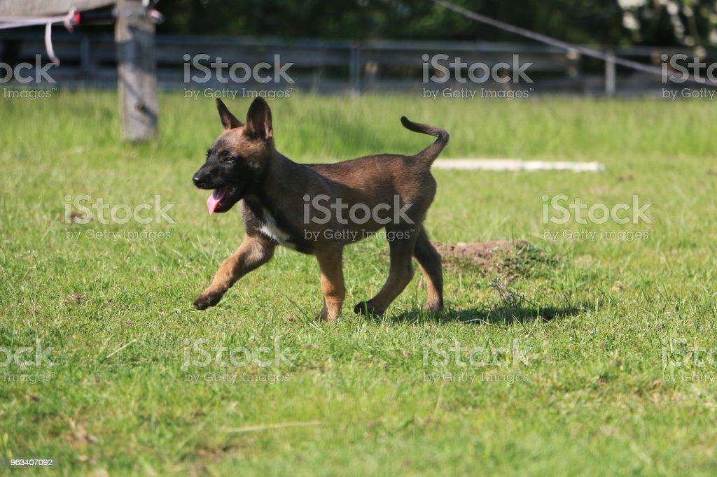 chodzenie szczeniak malinois - Zbiór zdjęć royalty-free (Pies)