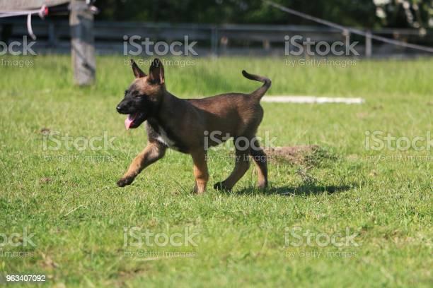 Chodzenie Szczeniak Malinois - zdjęcia stockowe i więcej obrazów Pies