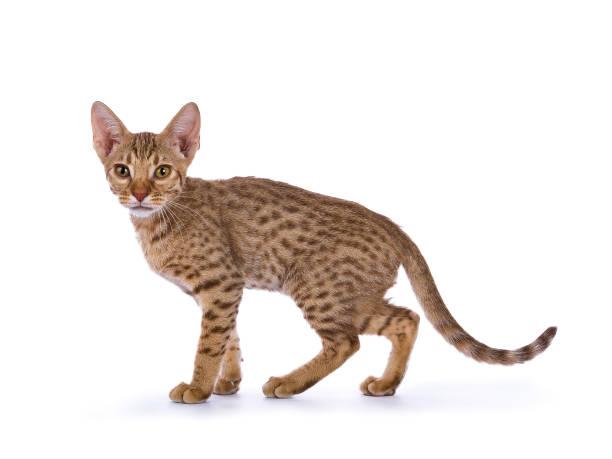 gattino ocicat che cammina isolato su sfondo bianco - ocicat foto e immagini stock