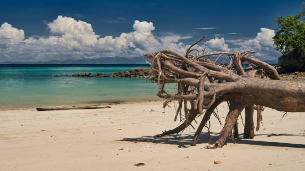 Walking old roots on the beach Playa Caracol of Contadora Island stock photo
