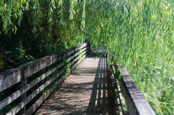 Walking on a wooden bridge under willows near Juanita Bay stock photo