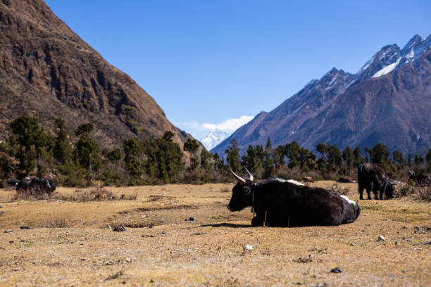 Walking past a group of Yak on the Manaslu circuit near the Birendra Lake and Samagaun stock photo