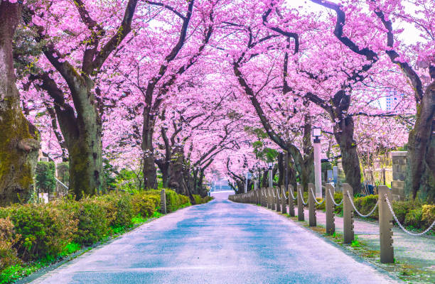 Wanderweg unter dem schönen Sakura-Baum oder Kirschbaumtunnel in Tokio, Japan – Foto
