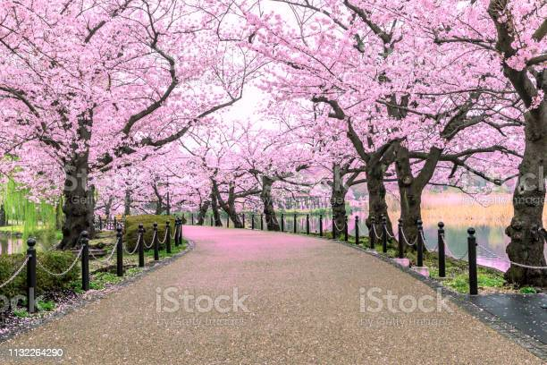 Walking path under the beautiful sakura tree or cherry tree tunnel in picture id1132264290?b=1&k=6&m=1132264290&s=612x612&h=affd5jx zoskmtcrpqyaled93v euxa01qpnir1xg94=