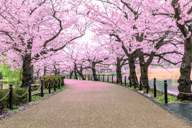 Walking path under the beautiful sakura tree or cherry tree tunnel in Tokyo, Japan Walking path under the beautiful sakura tree or cherry tree tunnel in Tokyo, Japan springtime stock pictures, royalty-free photos & images