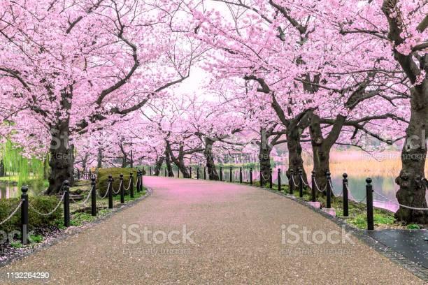 Wandelpad Onder De Prachtige Sakura Boom Of Cherry Tree Tunnel In Tokio Japan Stockfoto en meer beelden van Aangelegd