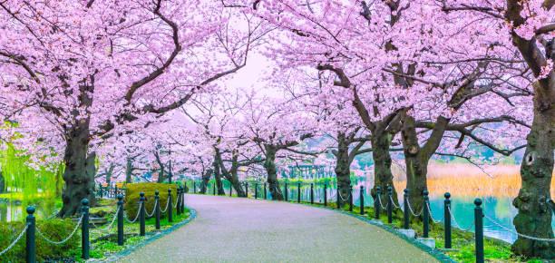 Wanderweg unter dem schönen Sakura-Baum- oder Kirschbaumtunnel in Tokio, Japan – Foto