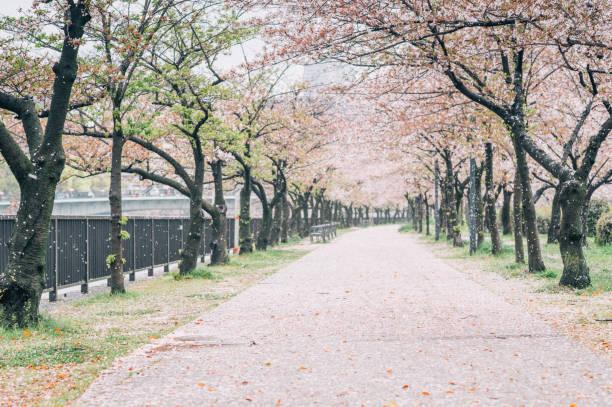 Walking path under the beautiful sakura tree or cherry tree tunnel in Tokyo, Japan stock photo