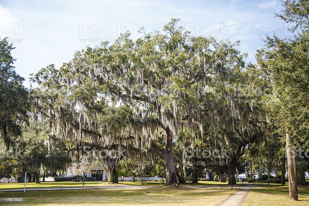 Walking Paths Among Oak Trees with Spanish Moss royalty-free stock photo