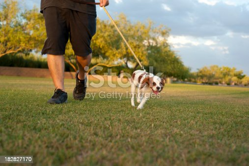 Dog walking on leash next to owner during walk at the park - King Charles Cavalier Spaniel Puppy
