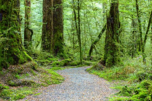 wanderroute im gemäßigten regenwald, fiordland-nationalpark, südinsel, neuseeland - baumgruppe stock-fotos und bilder