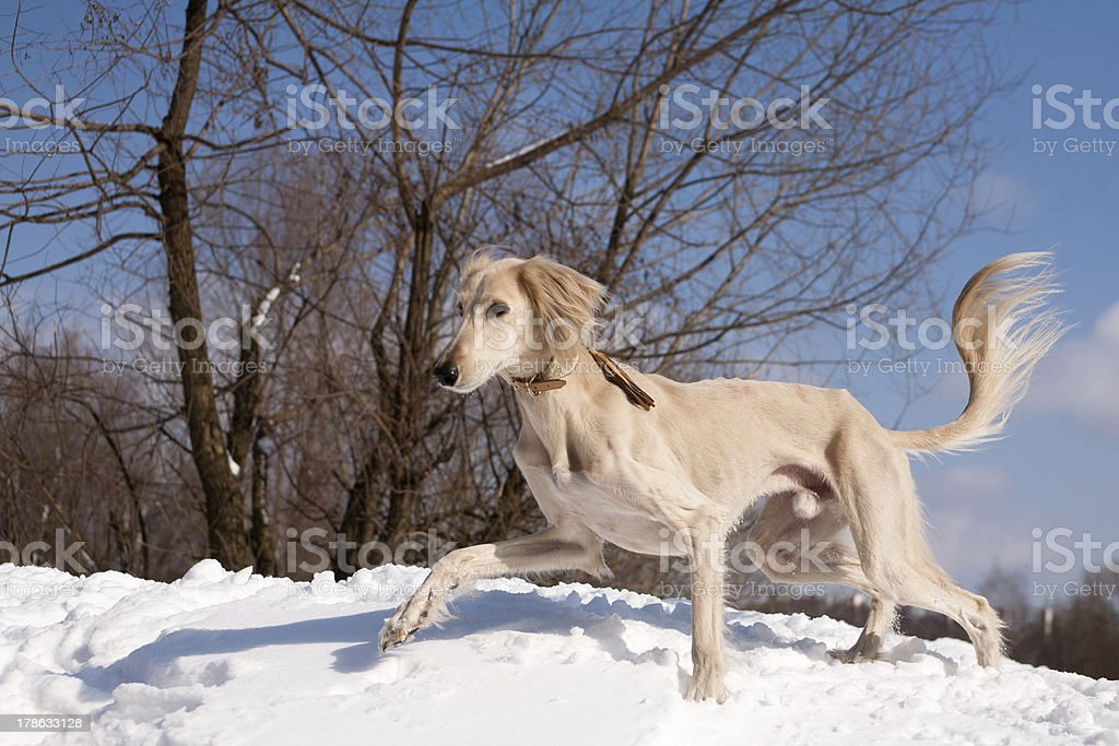 Walking saluki stock photo