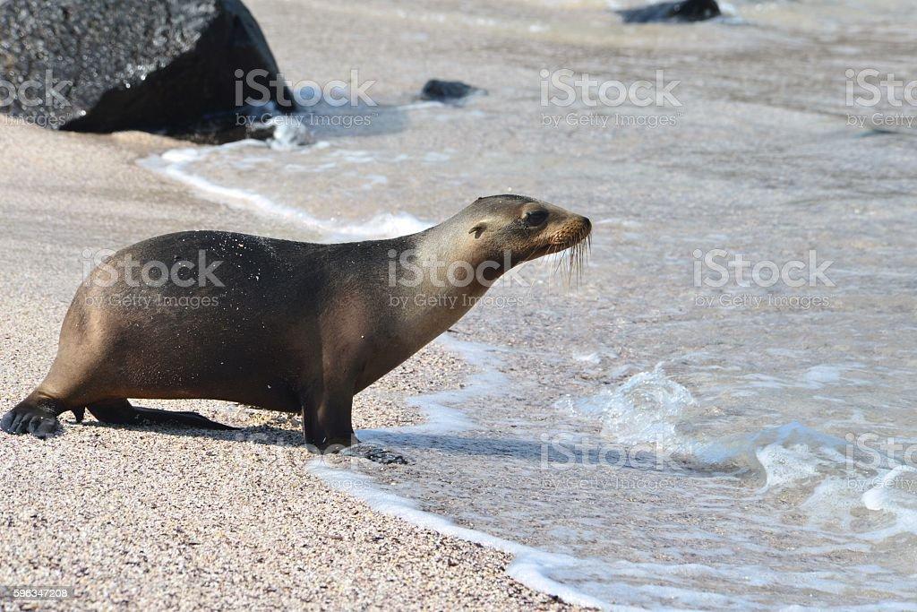 Walking Sea Lion royalty-free stock photo
