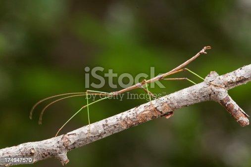 A walking stick walking along a tree branch. Wisconsin.