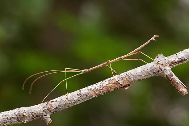 Walking Stick on Branch stock photo